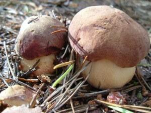 Белые грибы Кинбурнская коса 2